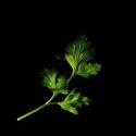 Plantui Flatleaf Parsley Petržlen záhradný taliansky (3ks)